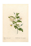 Silver-Flowered Hispid Rose, Rosa Tomentosa Variety Giclee Print by Pierre-Joseph Redouté