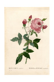 Bengale Centfeuilles Rose, Rosa Chinensis Variety Giclee Print by Pierre-Joseph Redouté