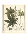 Castor Oil Plant, Ricinus Communis Giclée-Druck von F. Guimpel