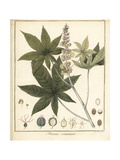 Castor Oil Plant, Ricinus Communis Giclee Print by F. Guimpel