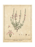 Cat Thyme, Teucrium Marum Giclee Print by F. Guimpel