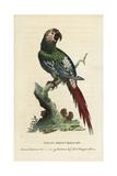 Great Green Macaw, Ara Ambiguus Giclee Print by George Edwards