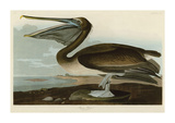 Brown Pelican Giclee Print by John James Audubon