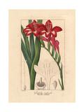 Waterfall Gladiolus, Gladiolus Cardinalis Giclee Print by Pancrace Bessa