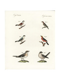 Species of Shrikes Impression giclée