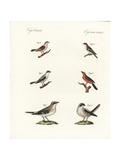 Species of Shrikes Giclee Print