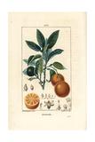 Orange, Citrus Aurantium Giclée-Druck von Ernestine Panckoucke