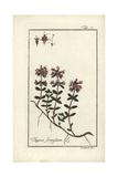 Wild Thyme, Thymus Serpyllum Giclee Print by B. Thanner