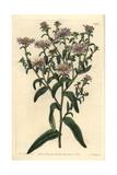 New York Aster, Symphyotrichum Novi-Belgii Giclee Print by Sarah Drake