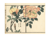 Kibara or Yellow Rose, Rosa Sulphurea Giclée-Druck von Bairei Kono