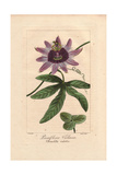 Perfume Passionflower, Passiflora Violacea Giclee Print by Pancrace Bessa
