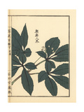 Chousen Ninjin or Ginseng, Panax Ginseng Giclee Print by Bairei Kono