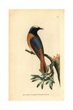 Redstart, Phoenicurus Phoenicurus Giclee Print by Frederick Nodder