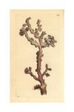 Bubblegum Coral, Paragorgia Arborea Giclee Print by Richard Nodder