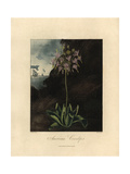 American Cowslip, Dodecatheon Meadia Giclee Print by Peter Henderson