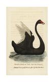 Black Swan, Cygnus Atratus Giclee Print