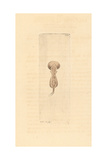 Brachionus Galeatus, Species of Planktonic Rotifer Giclee Print by Richard Nodder