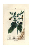 Deadly Nightshade, Atropa Belladonna Giclee Print by Pierre Turpin