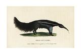 Giant Anteater, Myrmecophaga Tridactyla Giclee Print