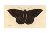 Black Witch Moth, Ascalapha Odorata Giclee Print by Richard Nodder