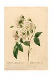 Duchesse D'Orleans Rose, Rosa Gallica Variety Giclee Print by Pierre-Joseph Redouté