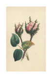 Moss Rose, Rosa Muscosa Giclee Print by James Andrews