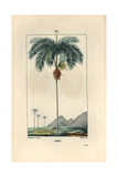 Areca Palm Tree, Areca Cathecu, or Areca Nut Betel Palm Giclee Print by Pierre Turpin
