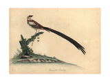 Variegated Bunting, Emberiza Principalis Giclee Print by William Hayes