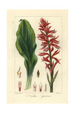 Latin American Lady Orchid, Stenorrhynchos Speciosus Giclee Print by Pancrace Bessa