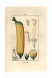 Banana Fruit, Musa Paradisiaca Reproduction procédé giclée par Pierre Turpin