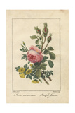 Pink Moss Rose, Rosa Muscosa, and Yellow Dog Rose, Rosa Canina Giclee Print by Pancrace Bessa