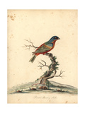 Painted Bunting, Passerina Ciris Giclee Print by William Hayes