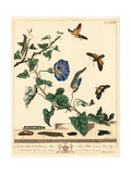 Dot Moth and Hummingbird Hawk-Moth Giclee Print by Moses Harris
