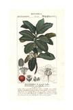 Malpighia Tree, Malpighia Fucata Giclee Print by Pierre Turpin