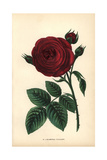 Marechal Vaillant, Hybrid Rose Giclee Print by Francois Grobon