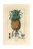 Pineapple Fruit, Ananas Comosus Giclée-Druck von Pierre Turpin