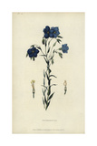 Perennial or Narbonne Flax, Linum Narbonense Giclee Print by William Clark