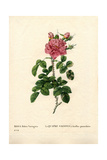 Variegated Four Seasons Rose, Rosa Damascena Var Bifera Giclee Print by Pierre-Joseph Redouté