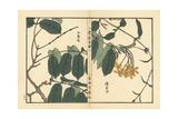 Shikunshi, Chinese Honeysuckle, Combretum Indicum Giclée-Druck von Bairei Kono