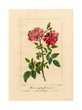 Indian Rose, Rosa Semperflorens Giclee Print by Pancrace Bessa
