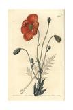 Persian Poppy, Papaver Persicum Giclee Print by Sarah Drake