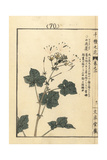 Spiderflower, Gynandropsis Gynandra Giclee Print by Bairei Kono