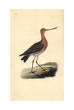 Bar-Tailed Godwit (Male), Limosa Lapponica Giclee Print by Edward Donovan