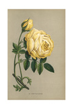 Rose Sulfureuse, Yellow Rose Variety of Rosa Sulfurea Giclee Print by Francois Grobon