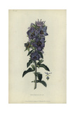 Rough Bellflower, Campanula Peregrina Giclee Print by William Clark