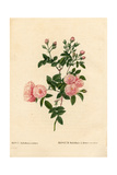 Flesh-Pink Multiflora Rose, Rosa Multiflora Var Carnea Giclee Print by Pierre-Joseph Redouté