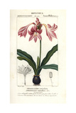 Pink Amaryllis, Hippeastrum Reticulatum Giclee Print by Pierre Turpin