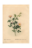 Pink Hedge Rose, Rosa Agrestis Variety Giclee Print by Pierre-Joseph Redouté