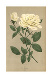 Bengale Ducher Rose, Variety of Rosa Indica Giclee Print by Francois Grobon