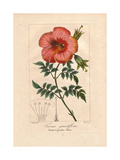 Chinese Trumpet Vine, Campsis Grandiflora, Native to East Asia Giclee Print by Pancrace Bessa